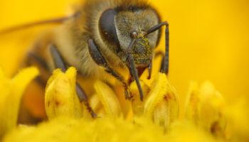 Abelha colhendo pólen em uma flor