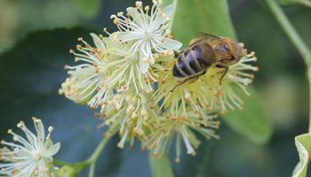 pszczola_na_lipie